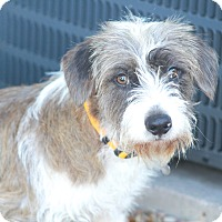 Adopt A Pet :: Chevy Chase - MEET HIM!! - Norwalk, CT