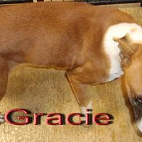 Boxer Dog for adoption in Coleman, Texas - Gracie
