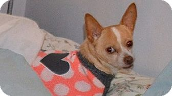 Chihuahua Dog for adoption in Indianapolis, Indiana - Chico
