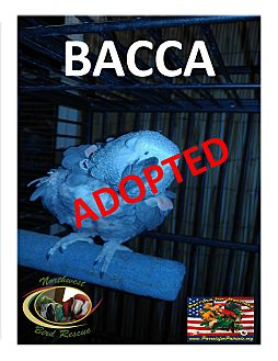 African Grey for adoption in Vancouver, Washington - Bacca The African Grey