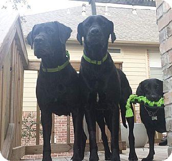 Labrador Retriever/Great Dane Mix Dog for adoption in Austin, Texas - Bella