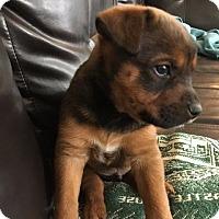 Adopt A Pet :: TK / Takoda - Raleigh, NC