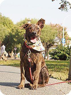 Shepherd (Unknown Type)/Labrador Retriever Mix Puppy for adoption in San Mateo, California - Quie