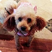 Adopt A Pet :: Scarlet - Bealeton, VA