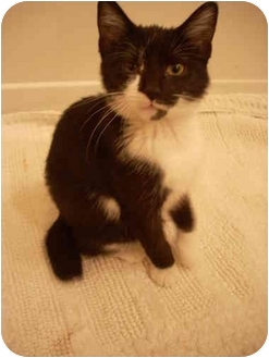 American Bobtail Cat for adoption in Bartlett, Tennessee - Penny