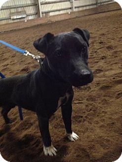 Jack Russell Terrier Mix Dog for adoption in Bellingham, Washington - Black Jack