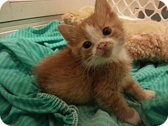 Domestic Shorthair Kitten for adoption in Chicago, Illinois - Frank