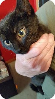 Domestic Shorthair Kitten for adoption in Breinigsville, Pennsylvania - Sibel