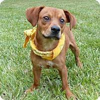 Adopt A Pet :: Cowboy - Mocksville, NC
