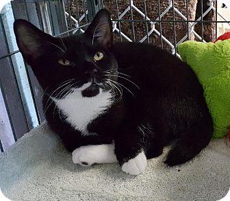Domestic Shorthair Cat for adoption in Freeport, New York - Little Saint