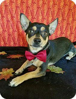Manchester Terrier/Miniature Pinscher Mix Dog for adoption in Troutville, Virginia - Jacob