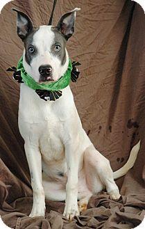 Husky/Labrador Retriever Mix Dog for adoption in West Springfield, Massachusetts - Merlin