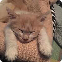 Adopt A Pet :: Cutie Pie - Alhambra, CA