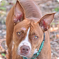 Pit Bull Terrier Mix Dog for adoption in Brooksville, Florida - 10309700 CAYENNE
