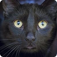 Bombay Cat for adoption in Los Angeles, California - Aphrodite