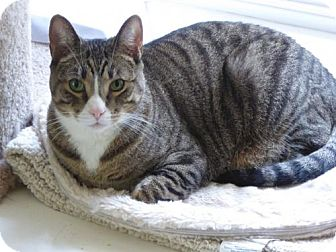 Domestic Shorthair Cat for adoption in Burlington, Washington - Tinker