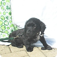 Dachshund/Terrier (Unknown Type, Small) Mix Puppy for adoption in West Chicago, Illinois - Conner