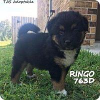 Adopt A Pet :: Ringo - Spring, TX