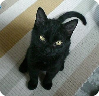 Domestic Shorthair Kitten for adoption in Byron Center, Michigan - Diggory