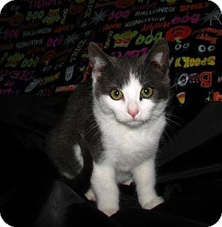 Domestic Shorthair Kitten for adoption in Norwich, New York - Luke