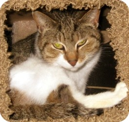 Bengal Cat for adoption in Dallas, Texas - Marla