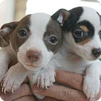 Adopt A Pet :: Cupcake's puppies! - Canoga Park, CA