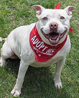 Boxer/Bulldog Mix Dog for adoption in Salisbury, North Carolina - Sasha