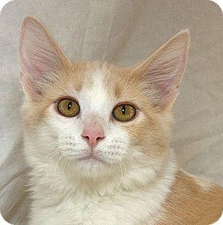 Domestic Mediumhair Kitten for adoption in Sacramento, California - Bingo M