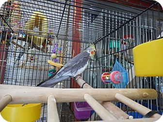 Cockatiel for adoption in Vancouver, Washington - Jack and Jill Cockatiels