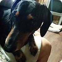 Adopt A Pet :: Jack - Pierrefonds, QC