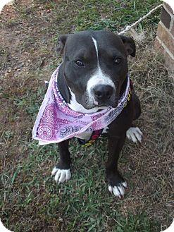 Pit Bull Terrier Mix Dog for adoption in Albemarle, North Carolina - Bella