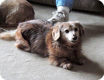 Dachshund Dog for adoption in San Antonio, Texas - Max