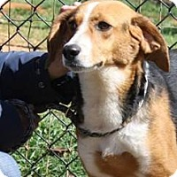 Beagle/Hound (Unknown Type) Mix Dog for adoption in Lovingston, Virginia - Sarah