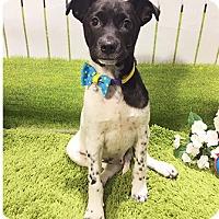 Labrador Retriever Mix Puppy for adoption in Castro Valley, California - Chef