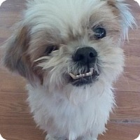 Shih Tzu Dog for adoption in Apple Valley, California - Grandpaw aka Bentley- in a foster