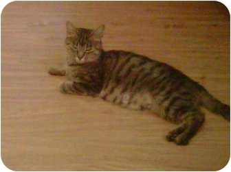 Domestic Shorthair Cat for adoption in Montreal, Quebec - Lucy