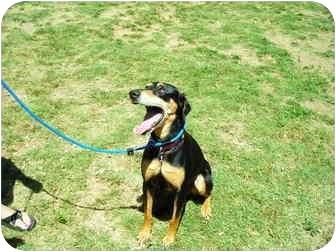 Doberman Pinscher/Labrador Retriever Mix Dog for adoption in Santee, California - Layla