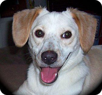 Springer Spaniel/Pointer Mix Dog for adoption in CHAMPAIGN, Illinois - BENTLEY