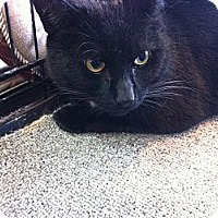 Domestic Shorthair Cat for adoption in Toronto, Ontario - Jojo