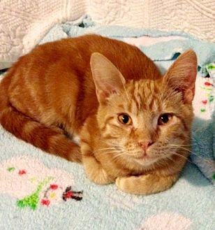 Domestic Shorthair Cat for adoption in Somerset, Kentucky - Devito