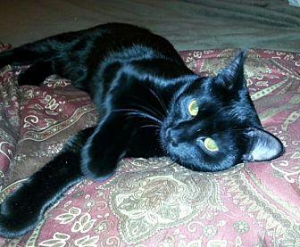 Domestic Shorthair Kitten for adoption in Reston, Virginia - Beauty