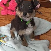 Adopt A Pet :: Macie - Rockaway, NJ