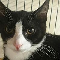 Domestic Shorthair Kitten for adoption in Smithtown, New York - VIOLET