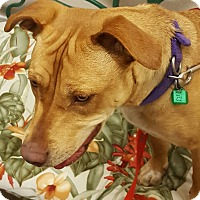 American Staffordshire Terrier Mix Dog for adoption in Frazier Park, California - Chloe