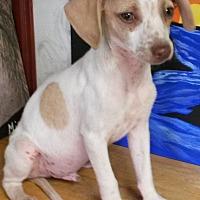 Adopt A Pet :: Rat Terrier Litter - East Hartford, CT