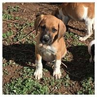 Adopt A Pet :: Jalopy - Centreville, VA