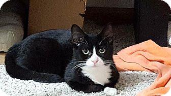Domestic Shorthair Kitten for adoption in Addison, Illinois - Braeburn