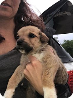 Great Pyrenees/Boxer Mix Puppy for adoption in Manchester, New Hampshire - Kiley