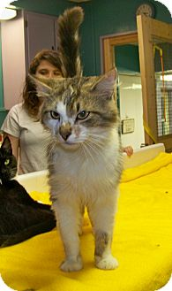 Domestic Mediumhair Cat for adoption in Dover, Ohio - Dirty Harry