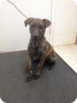 Plott Hound Mix Puppy for adoption in Lancaster, Virginia - Millie